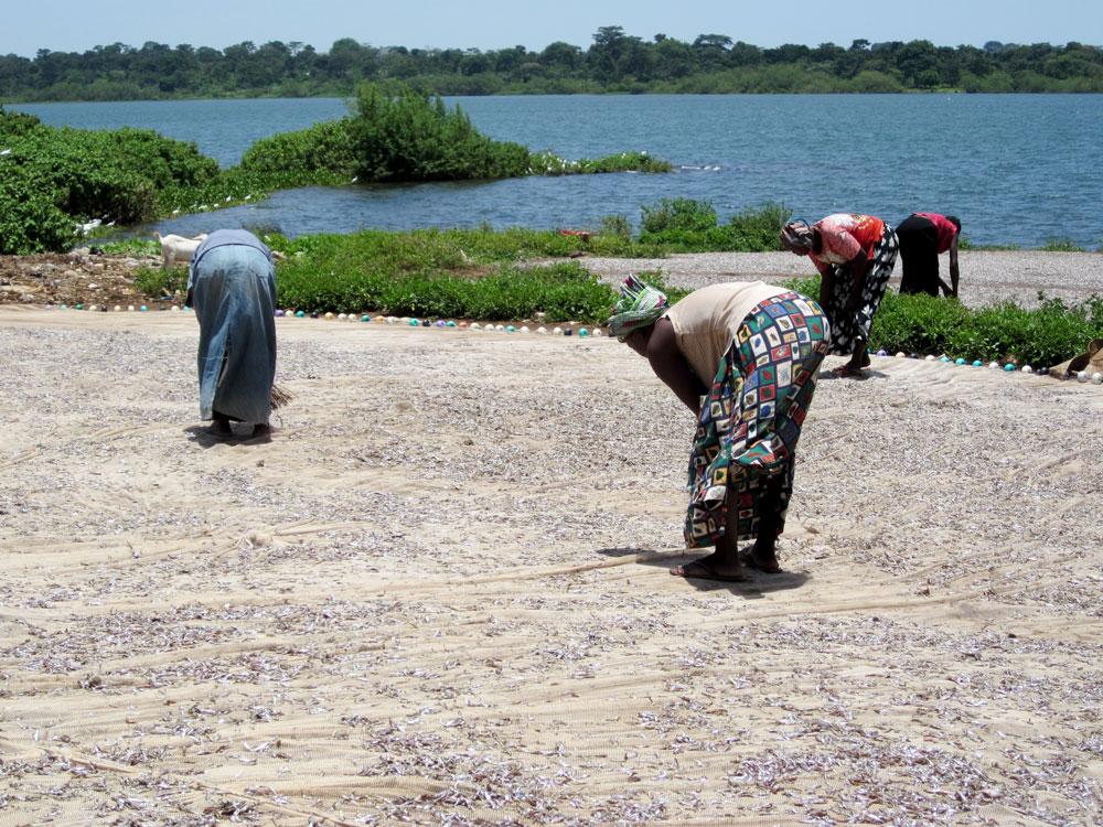 Foto von Frauen beim Sammeln von Silberfisch am Viktoriasee.